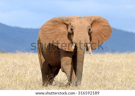 Red elephant in National park of Kenya, Africa - stock photo