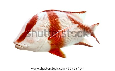 Red emperor (Lutjanus sebae) from the Great Barrier Reef, Australia,  Isolated Over White - stock photo