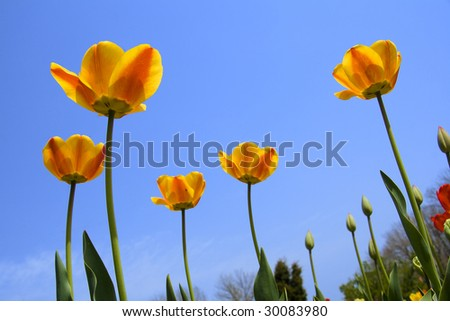 red end yellow tulip flower