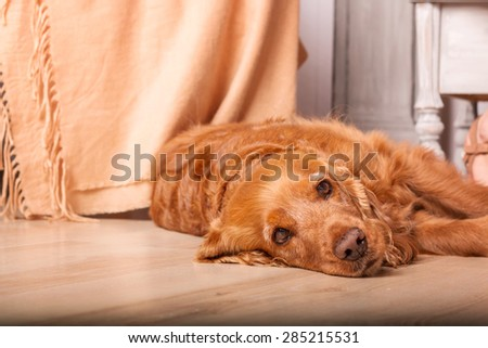 red English Cocker spaniel (Russian Spaniel) in a light interior