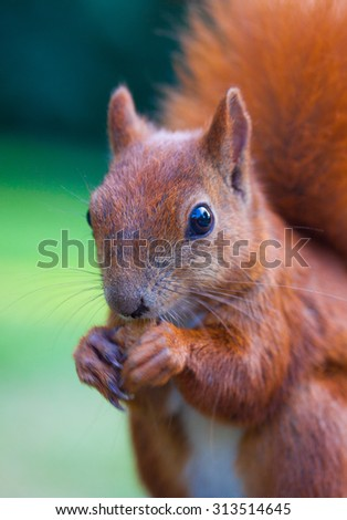 Red Eurasian squirrel eating a nut - stock photo