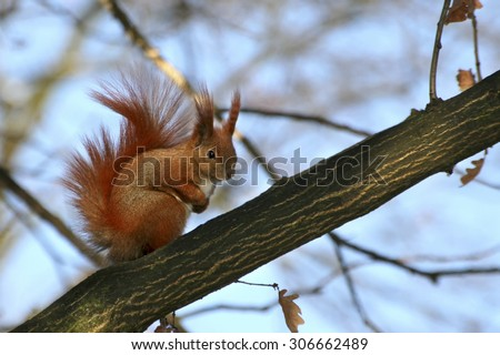Red Eurasian squirrel sitting on the tree - stock photo