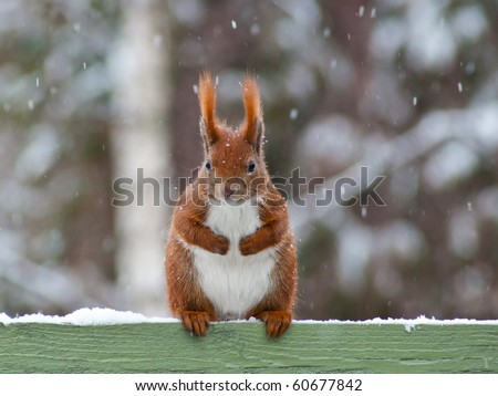 Red european Squirrel sitting on top of a green painted fence with snow, facing the viewer. It's snowing and there are snow flakes in the air. - stock photo
