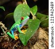 red-eye frog  Agalychnis callidryas in terrarium - stock photo