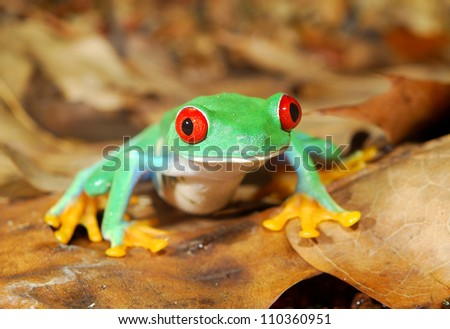 red-eye frog  Agalychnis callidryas in terrarium