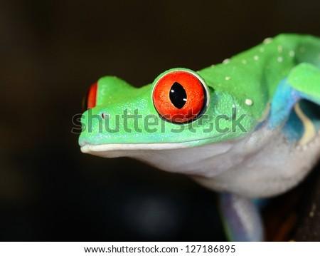 red-eye frog  Agalychnis callidryas in terrarium - stock photo