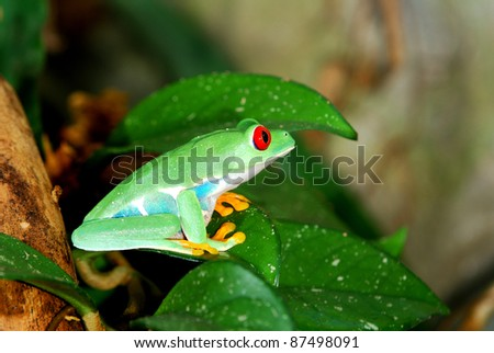 red-eye frog in natural environment