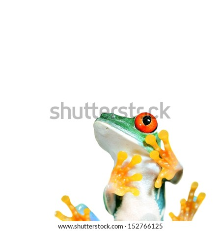 red-eye frog sitting and looking at the copy space - stock photo
