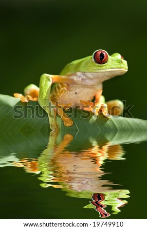 Red eye tree frog - stock photo