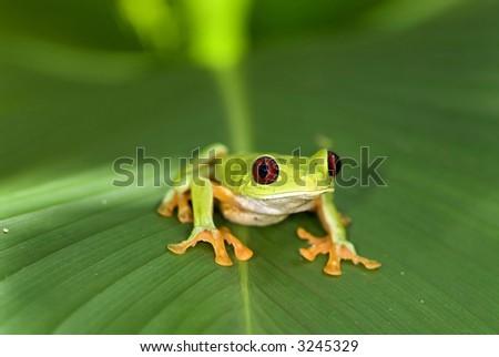 Red-Eye-Tree-Frog - stock photo