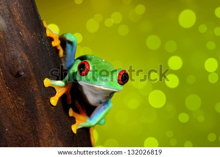 red-eye tree frog  Agalychnis callidryas - stock photo