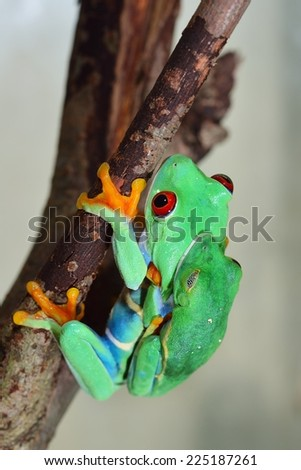 red-eye tree frog  Agalychnis callidryas mating - stock photo