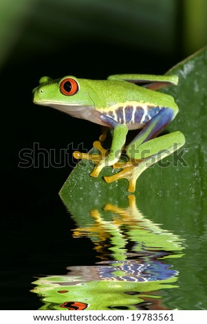 Red eye tree frog Agalycnis callidryas from Costa Rica - stock photo