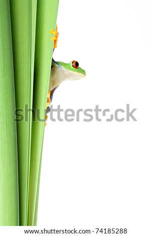 red-eye tree frog clinging to narrow leaves of plant and looking to side - isolated on solid white. - stock photo
