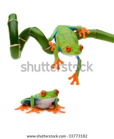 Red Eye Tree Frog (female) - stock photo