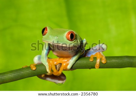 Red Eye Tree Frog on Branch 5 - stock photo