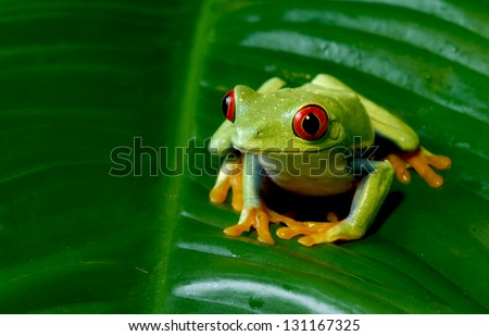Red Eye Tree Frog sitting on leaf - stock photo