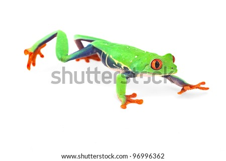 red eye treefrog frog crawling macro isolated exotic curious animal bright vivid colors of tropical rain forest Costa Rica cute and funny amphibian - stock photo