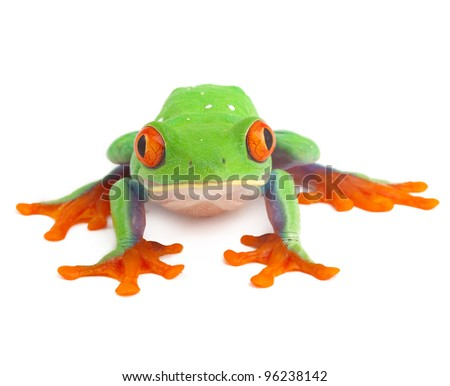 red eye treefrog macro isolated exotic frog curious animal bright vivid colors tree frog - stock photo