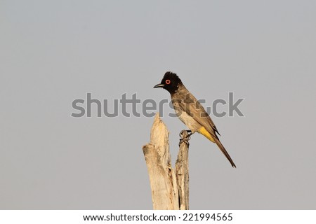 Red-eyed Bulbul - African Wild Bird Background - Posture of Color and Freedom - stock photo