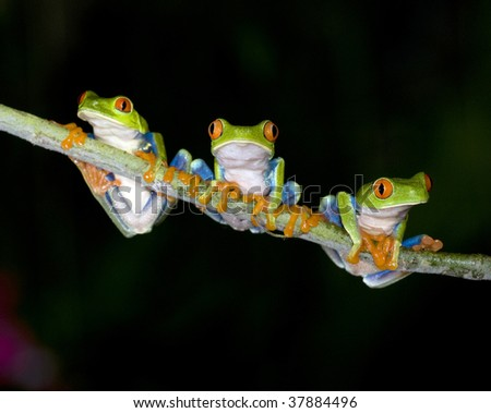 red eyed green tree frogs or gaudy tree frogs on branch, arenal, costa rica, latin america. exotic kermit tree frog amphibian amigos friends together in jungle rainforest nocturnal nightime dark black - stock photo