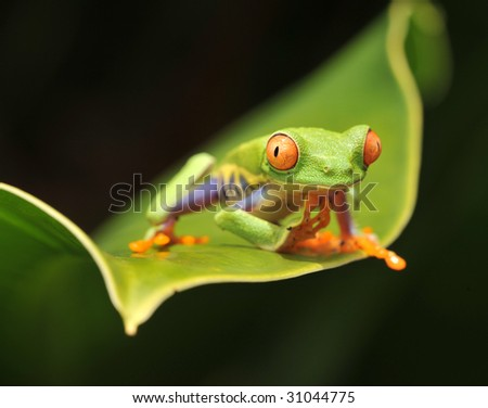 red eyed green tree or gaudy leaf frog baby on banana leaf showing vibrant rainbow colors, drake bay,costa rica,latin america macro close up of exotic amphibian lush vibrant tropical jungle rainforest