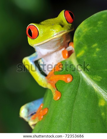 red eyed green tree or gaudy leaf frog curiously looking over leaf,exotic amphibian macro treefrog vivid rainbow tropical jungle,manuel antonio park,costa rica, rana verde ojos rojo rainfrog nr panama - stock photo