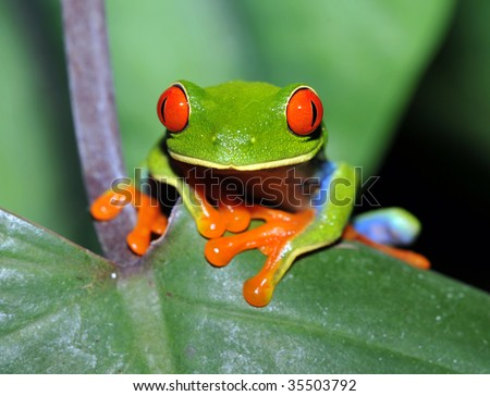 red eyed green tree or gaudy leaf frog on banana leaf, dominical, costa rica, latin america. exotic amphibian in lush vibrant tropical jungle - stock photo