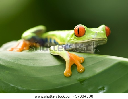 red eyed green tree or gaudy leaf frog on green leaf, exotic amphibian macro treefrog tropical jungle animal , manuel antonio nat park, Costa Rica, central america - stock photo
