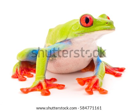 Red eyed monkey tree frog, Agalychnis callydrias. A tropical rain forest animal with vibrant eye isolated on a white background.
