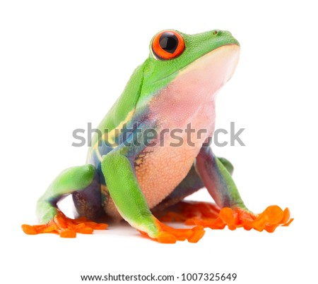Red eyed monkey tree frog from the tropical rain forest of Costa Rica and Panama. A cute funny exotic animal with vibrant eyes isolated on a white background.