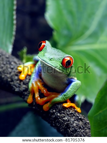Red-Eyed Tree Frog - stock photo