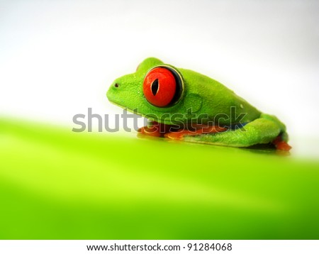 red-eyed tree frog 117, Agalychnis callidryas a red eyed tree frog with white background - stock photo