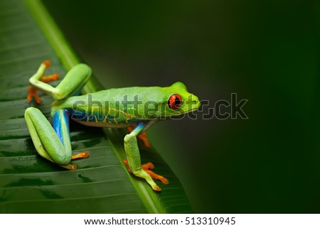 Red-eyed Tree Frog, Agalychnis callidryas, animal with big red eyes, in the nature habitat, Costa Rica. Frog in the nature. Beautiful frog in forest. Beautiful exotic animal from central America.
