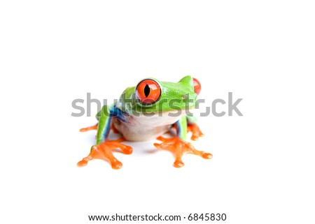 red-eyed tree frog (Agalychnis callidryas) closeup, isolated on white - stock photo