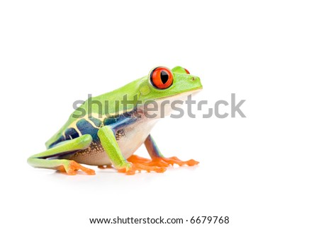 red-eyed tree frog (Agalychnis callidryas) closeup side view isolated on white - stock photo