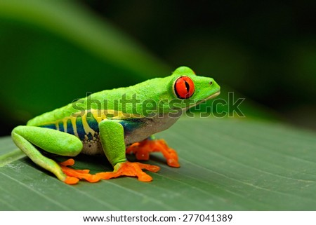 Red-eyed Tree Frog, Agalychnis callidryas, Costa Rica - stock photo