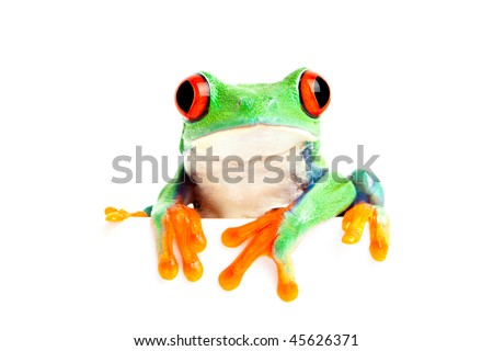 red-eyed tree frog (Agalychnis callidryas) isolated on white looking over edge - great for banner use and the like - stock photo