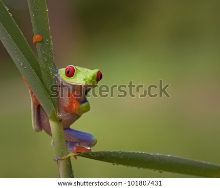 Red eyed tree frog (Agalychnis Callidryas) looking funny watching straight into the camera and a big smile