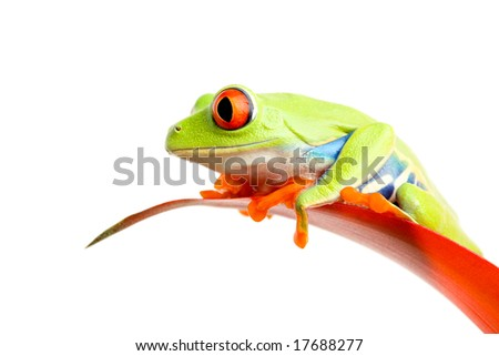 red-eyed tree frog (Agalychnis callidryas) on red plant leaf isolated on white - stock photo