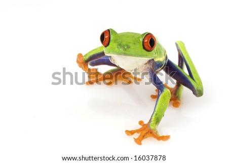 Red-eyed Tree Frog (Agalychnis callidryas) on white background. - stock photo