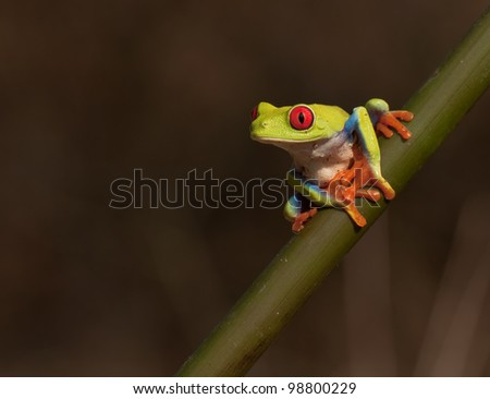Red-eyed Tree Frog, Agalychnis callidryas ready to take a leap - stock photo