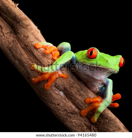 red eyed tree frog at night in tropical rainforest treefrog Agalychnis callydrias in jungle Costa Rica bright vivid colors beautiful exotic rain forest animal - stock photo