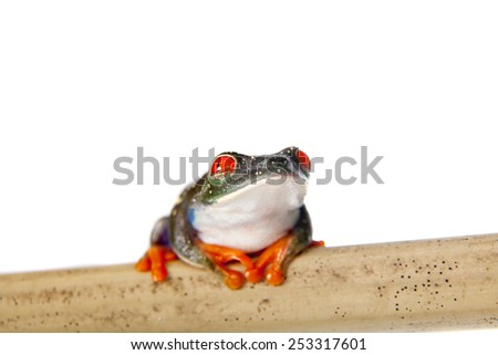 Red eyed tree frog at night on white background - stock photo