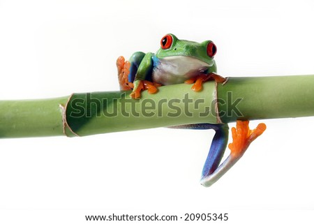 Red-Eyed Tree Frog climbing onto Bamboo and isolated on white background. - stock photo