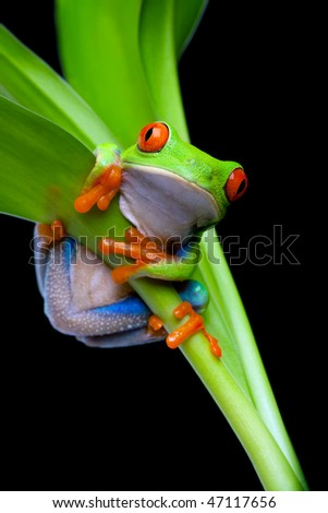 red-eyed tree frog clinging to a plant isolated on black - red-eyed tree frog (Agalychnis callidryas) - stock photo