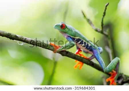 red eyed tree frog Costa Rica tropical rain forest animal, exotic treefrog - stock photo