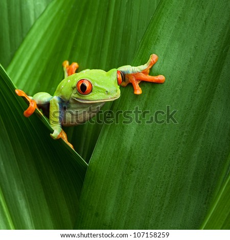 red eyed tree frog crawling between leafs in jungle at border of Panama and Costa Rica in the tropical rainforest, cute night animal with vivid colors, agalychnis callidryas - stock photo