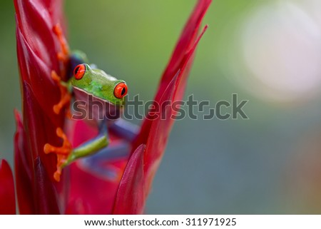 red eyed tree frog from the tropical jungle of Costa RIca and Panama Beautiful treefrog macro of an exotic rain forest animal