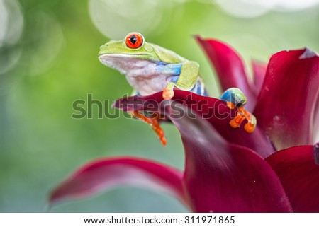 red eyed tree frog from the tropical jungle of Costa RIca and Panama macro of an exotic rain forest animal - stock photo